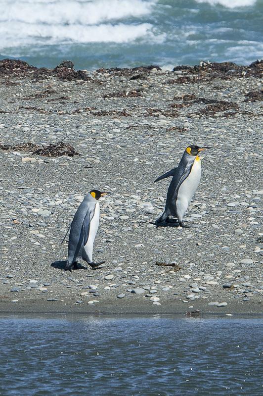 kraljevi pingvin na kopnem