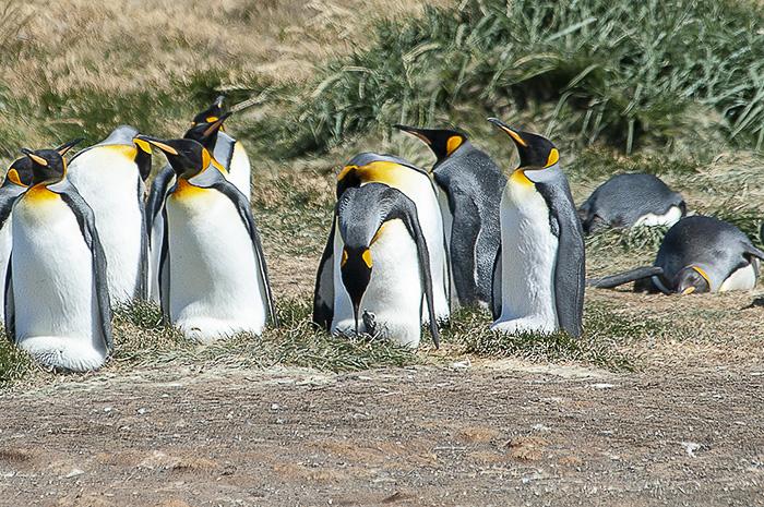 Mladič kraljevega pingvina med hranjenjem
