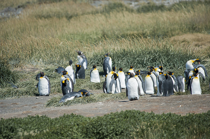 skupina kraljevih pingvinov