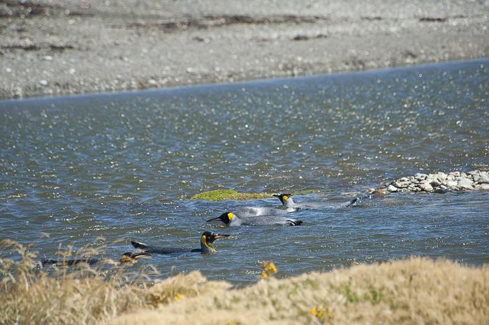 kraljevi pingvini v vodi