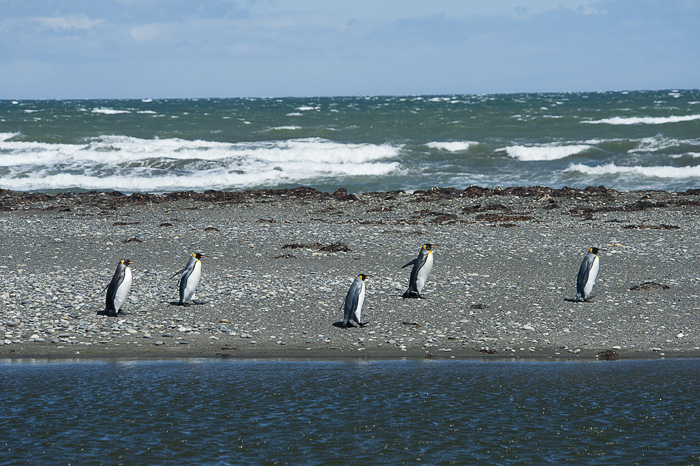 kraljevi pingvini na plaži