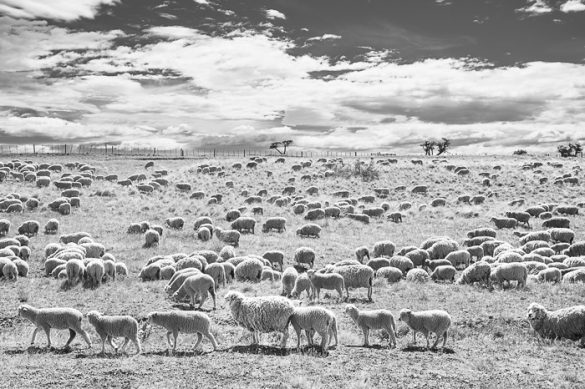 pašnik poln ovac v Patagoniji
