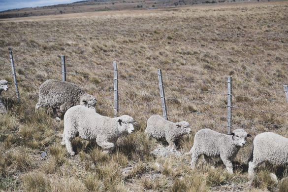 ovce v Patagoniji