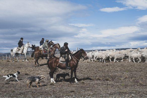 gaucho na konju s čredo ovac in psom ovčarjem