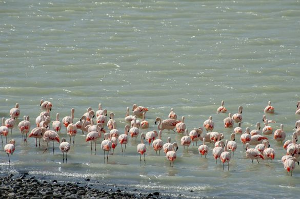 plamenci ali flamingi v patagoniji