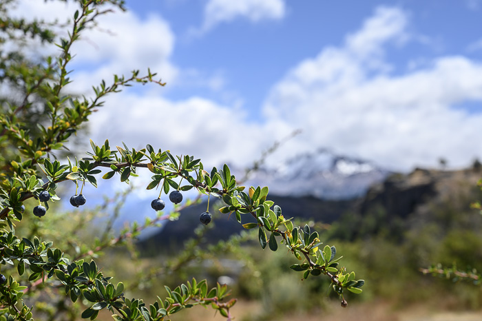 calafate borovnice Patagonija
