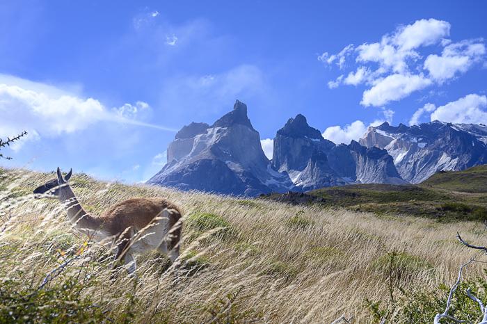 guanako stoji v visoki travi pred Torres del Paine, Mirador Cuernos