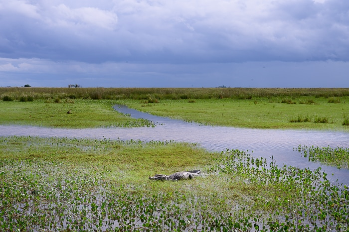 kajman v parku ibera, argentina