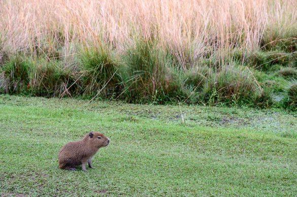 mlada kapibara