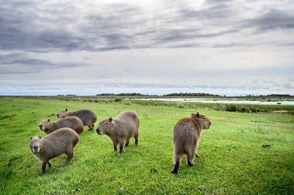 skupina kapibar