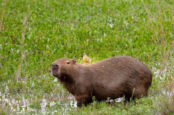 kapibara s ptičem na hrbtu