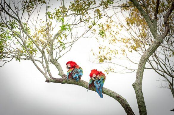 ara na drevesu, Argentina