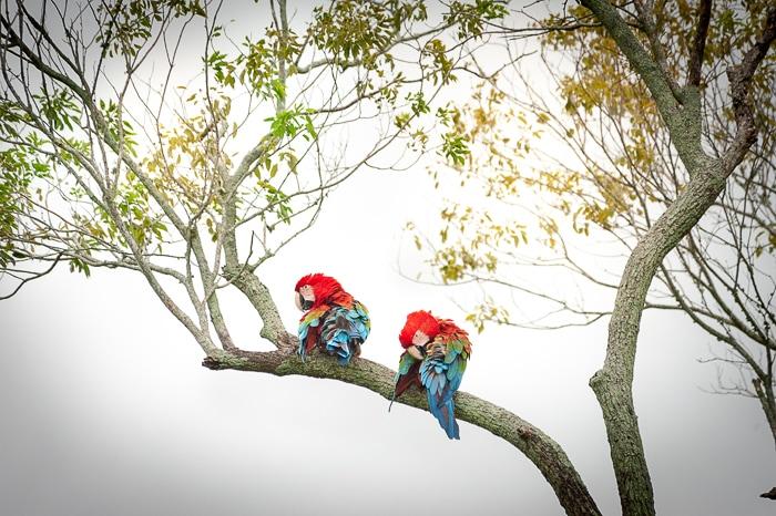 dve rdeči ari na drevesu v parku Ibera
