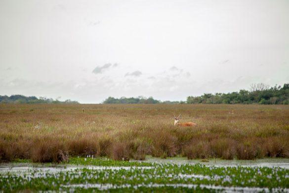 jelen v visoki travi v parku ibera