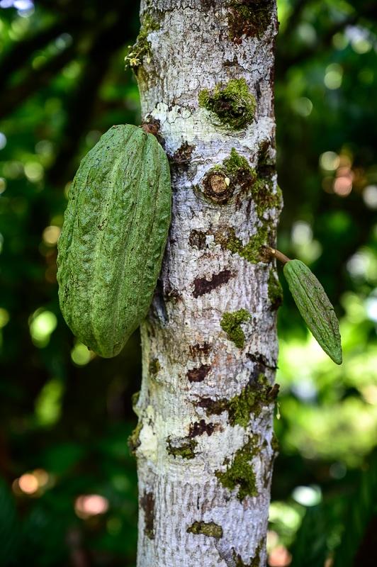 sadež kakava