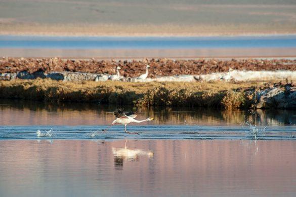 flamingo na rdeči laguni