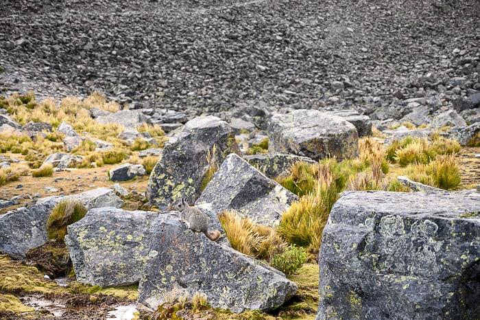 činčila na skali v Boliviji