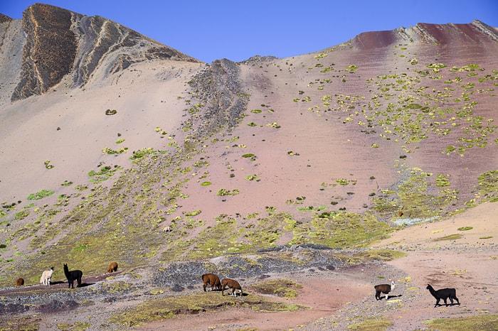 alpake na poti na rainbow mountain
