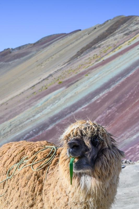 alpaka pred rainbow mountain s travo v ustih