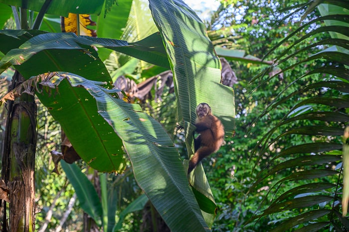 opica kapučinka na drevesu