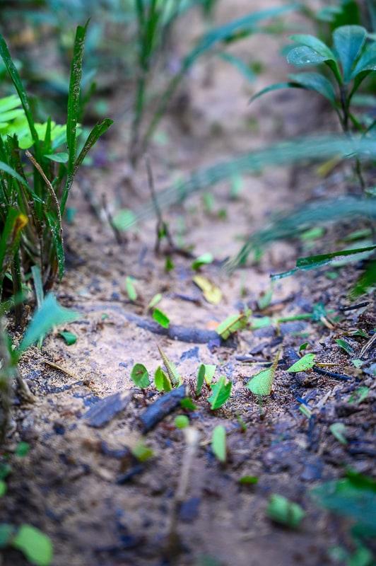 krojaške mravlje v južni perujski džungli