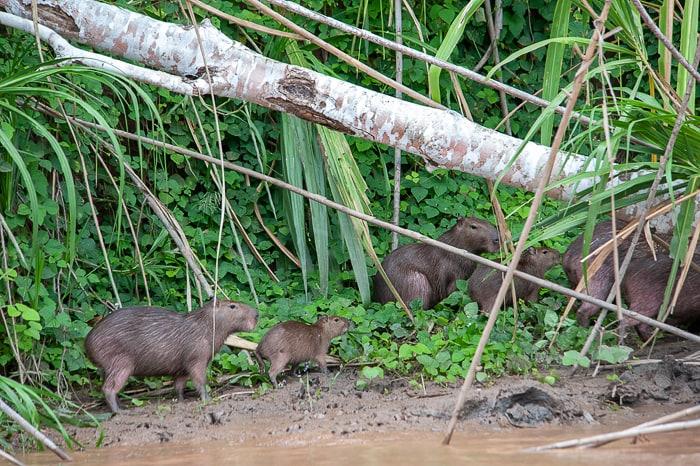 kapibara na obrežju reke Tambopata