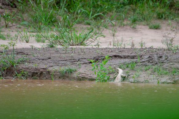 kajman na poti v vodo