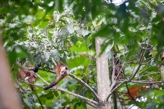 opica visi z drevesa