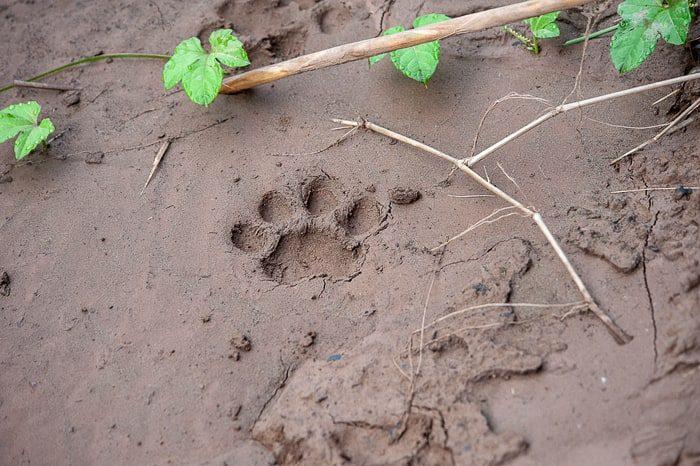 odtis jaguarjeve šape na obrežju reke Tambopata, Puerto Maldonado