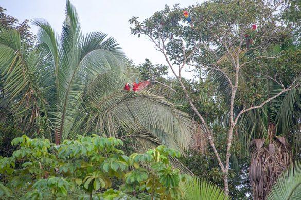 rdeči ari na drevesu v džungli v bližini Puerto Maldonado