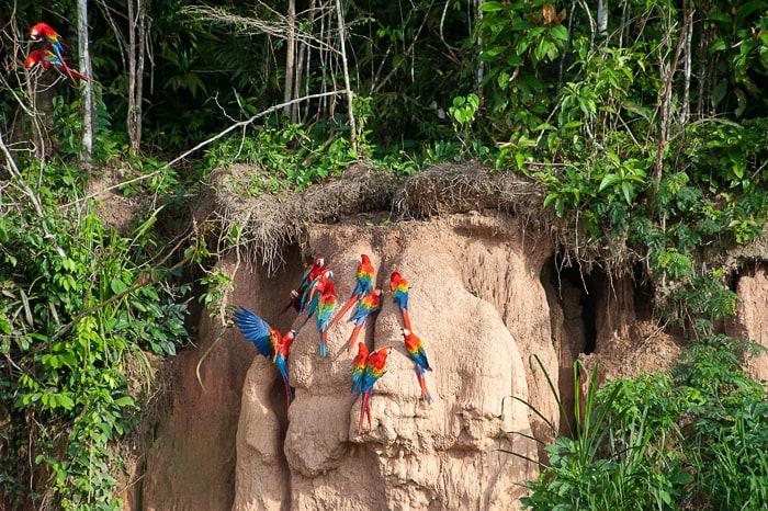 Papige are na Chuncho claylick, Puerto Maldonado