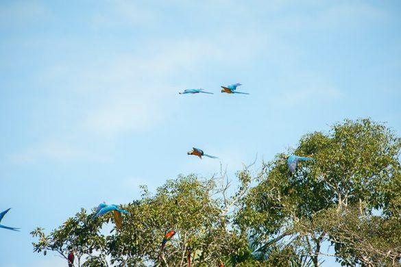 modre are letijo nad drevesi v džungli blizu Puerto Maldonado