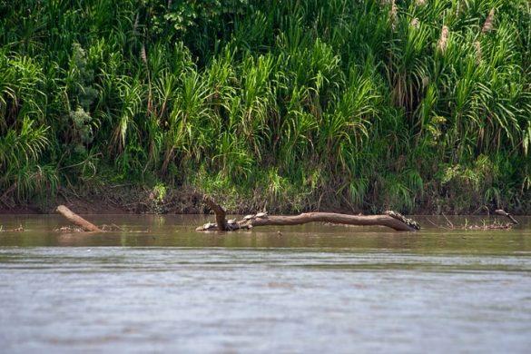 želve na veji sredi reke
