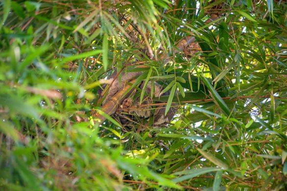 lenivec v drevesu