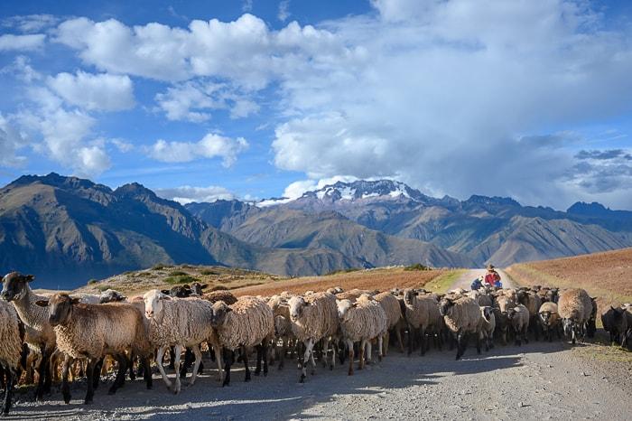 perujska ženska s čredo ovac in gorami v ozadju