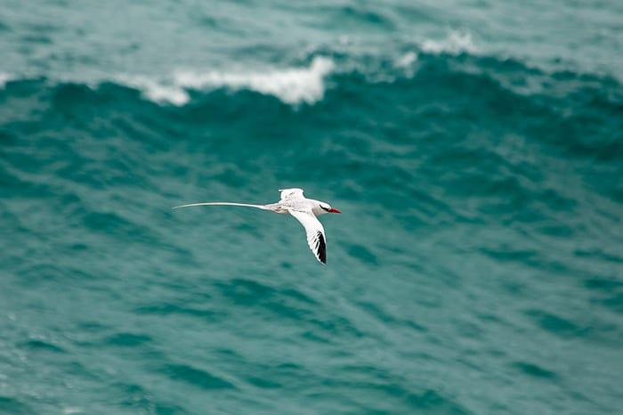 tropic bird na isla de la plata