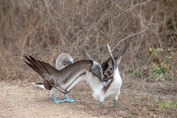 samec blue footedbooby ob parjenju