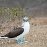 bluefooted booby na isla de la plata