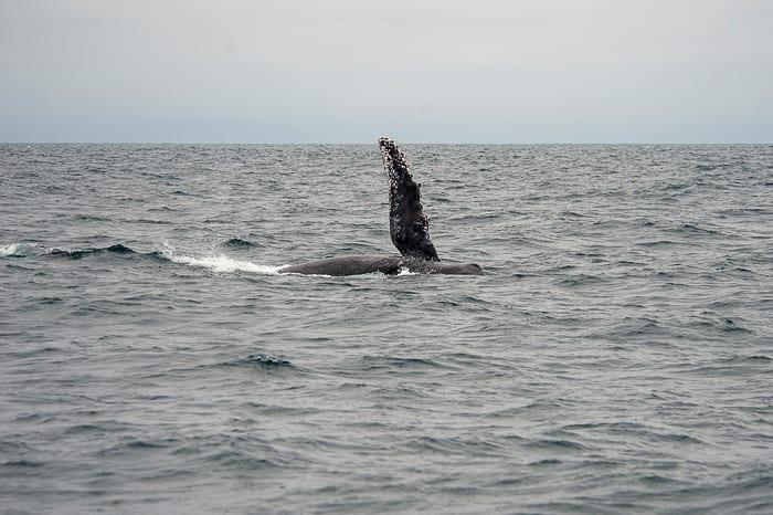 stranska plavut kita grbavca