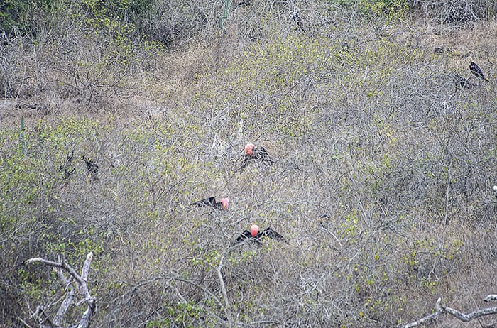 rdeči ptiči vgrmovju