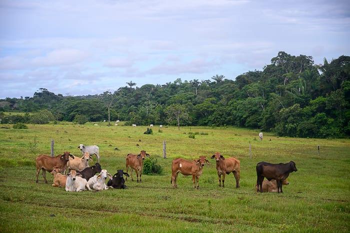 govedo v Kolumbiji