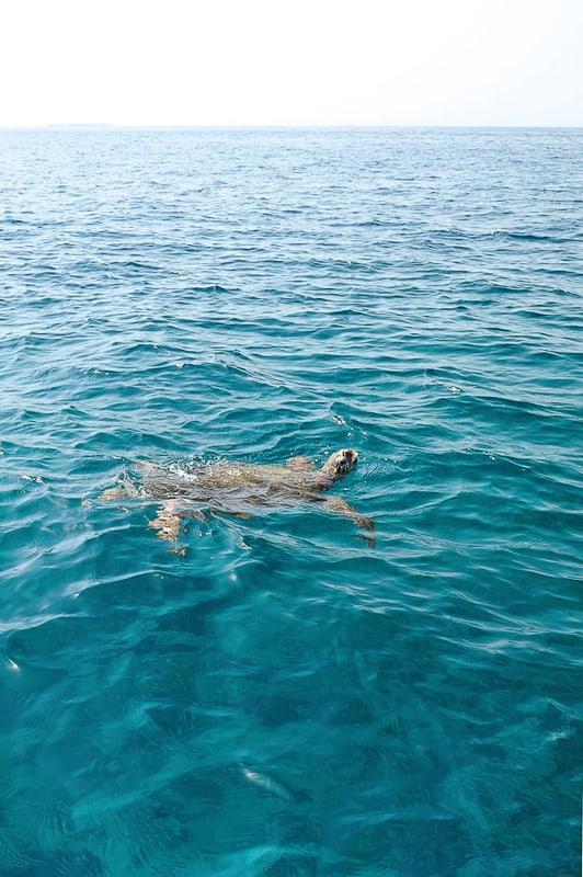 morska želva na gladini morja, oman