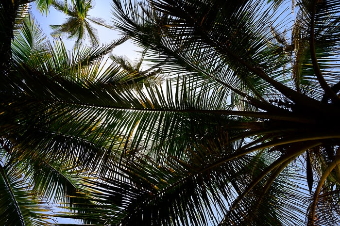 listi kokosovih palm