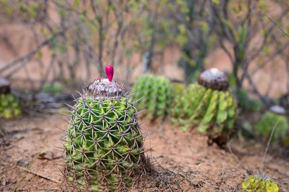 kaktus v puščavi Tatacoa