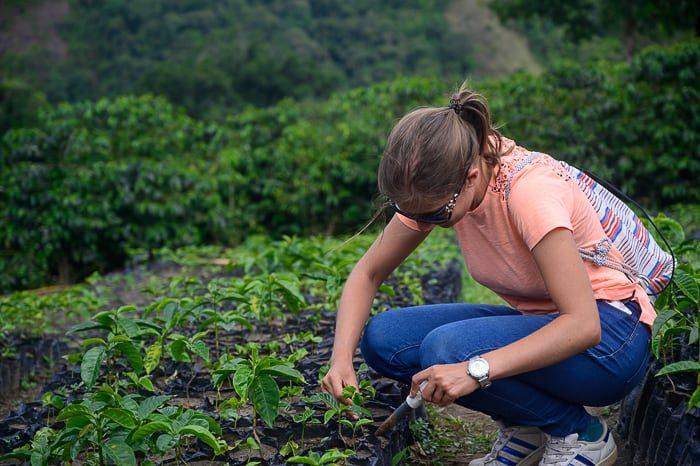 ženska sadi kavovec