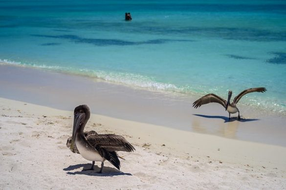 pelikan na plaži los roques