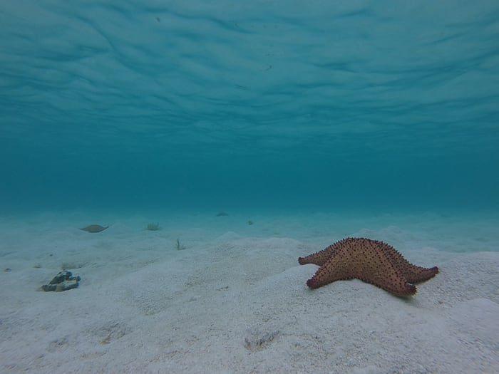morska zvezda, otočje Los Roques, Venezuela