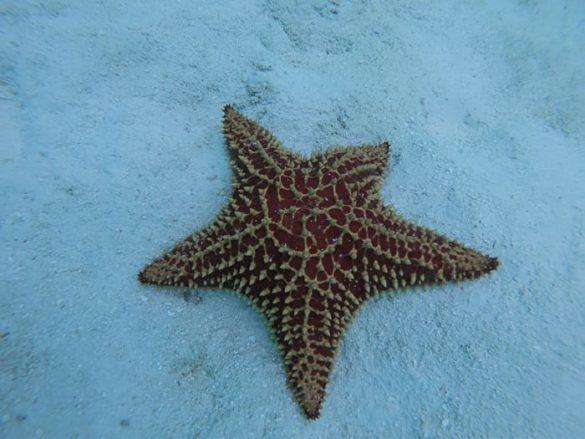morska zvezda, laguna rabusky
