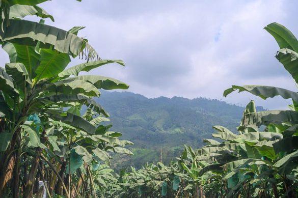 nasad banan, Ekvador