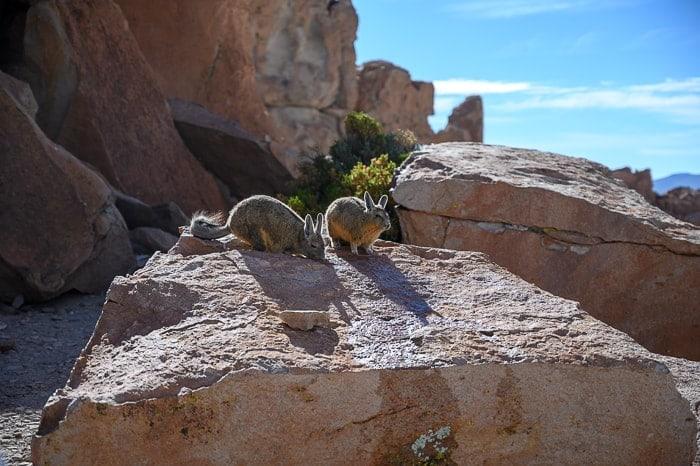 viskače na skali. Laguna Route, Bolivija